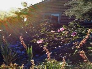 hibiscus, blue plumbago