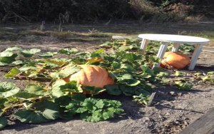 Cindy's 2013 Atlantic Giant pumpkins